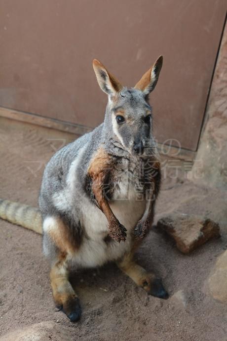 シドニーのカンガルー