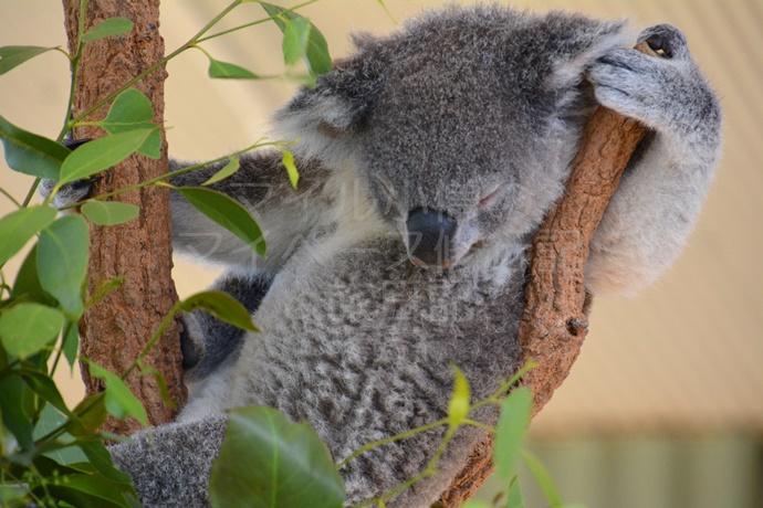 シドニーのコアラ